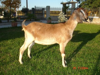 Anglonubian goats Greece